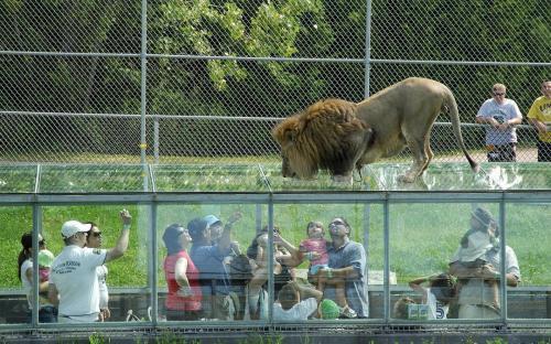 parc-safari-lions2